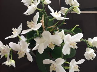 Mere's orchids