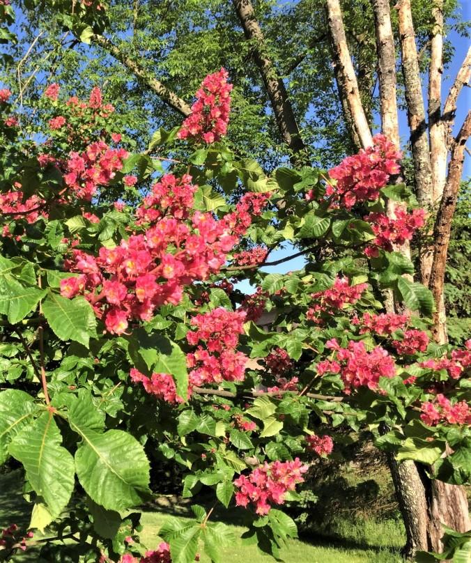 chestnut tree (2)